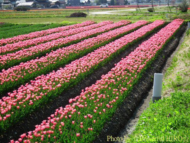 チューリップ畑 (8)