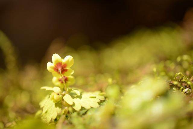 サンインシロカネ草4