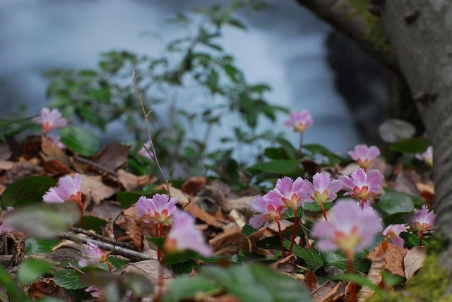 滝を望むイワウチワ1