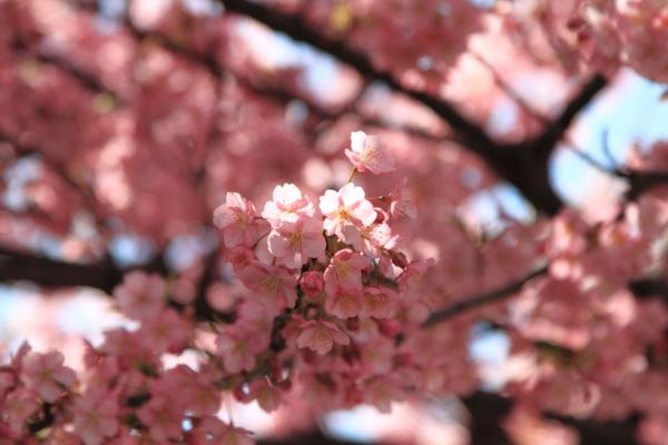 IMG_6185河津桜河津桜