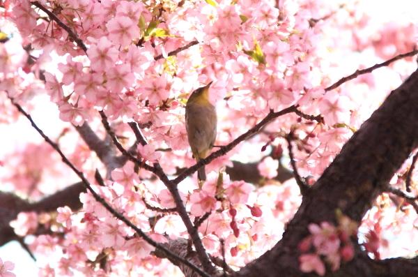 IMG_6290河津桜河津桜