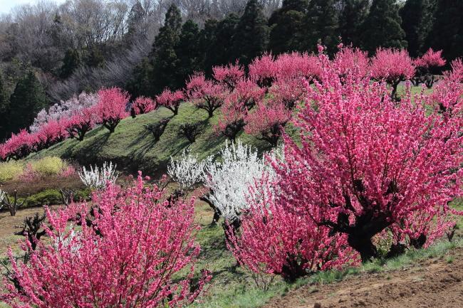 IMG_5260桃の花 2015桃の花 2015