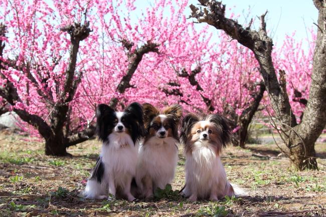 IMG_5247桃の花 2015桃の花 2015