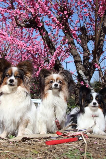 IMG_5253桃の花 2015桃の花 2015