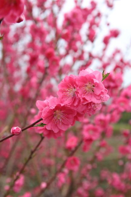 IMG_5218桃の花 2015桃の花 2015