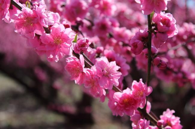 IMG_5255桃の花 2015桃の花 2015
