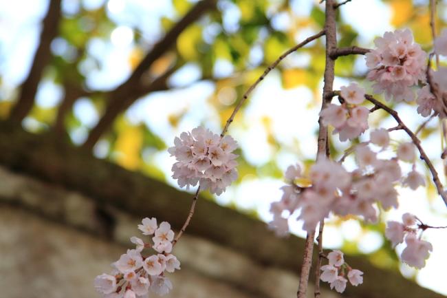 IMG_5285桃の花 2015桃の花 2015
