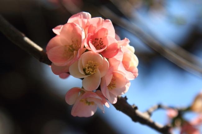 IMG_5284桃の花 2015桃の花 2015