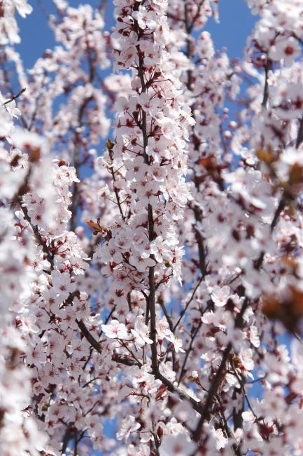 IMG_5276桃の花 2015桃の花 2015