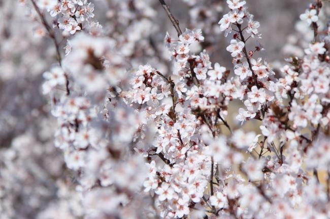 IMG_5277桃の花 2015桃の花 2015