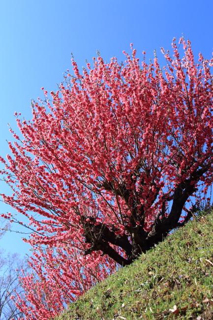 IMG_5290桃の花 2015桃の花 2015