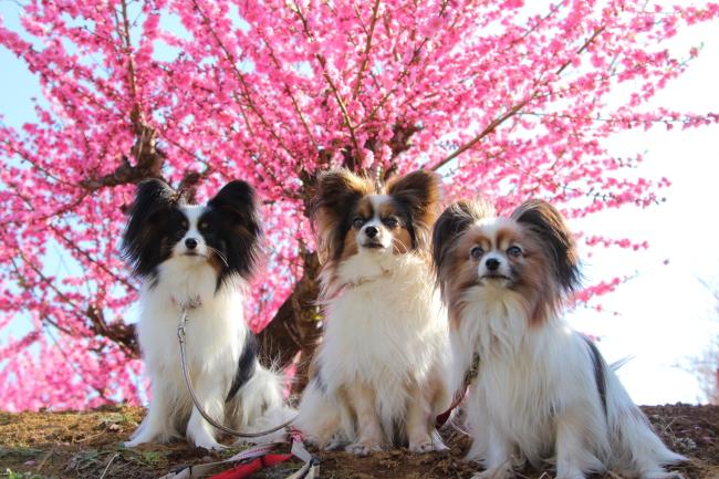 IMG_5297桃の花 2015桃の花 2015