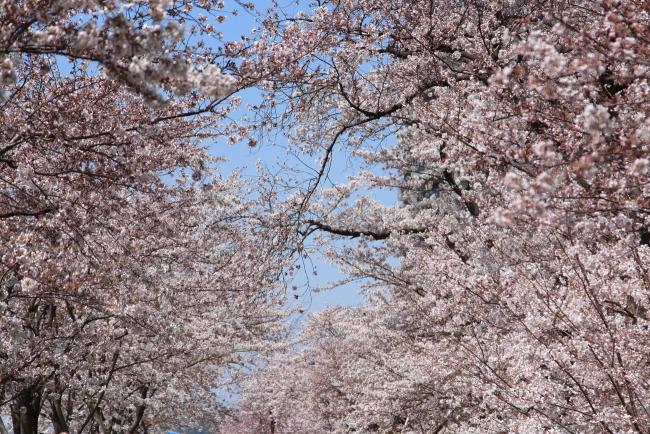 IMG_5415多摩川河川敷多摩川河川敷多摩川桜