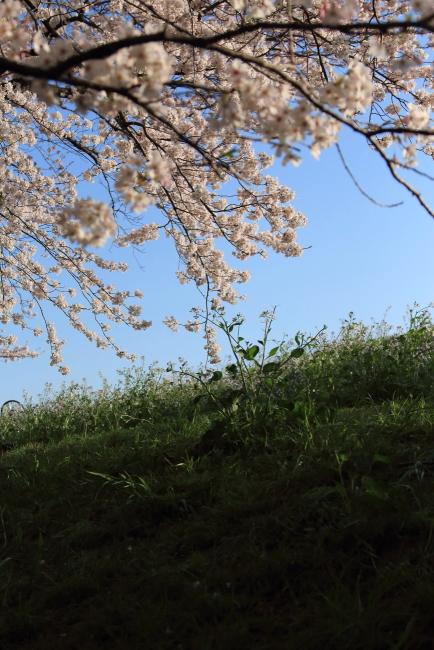 IMG_5529多摩川河川敷多摩川河川敷多摩川桜