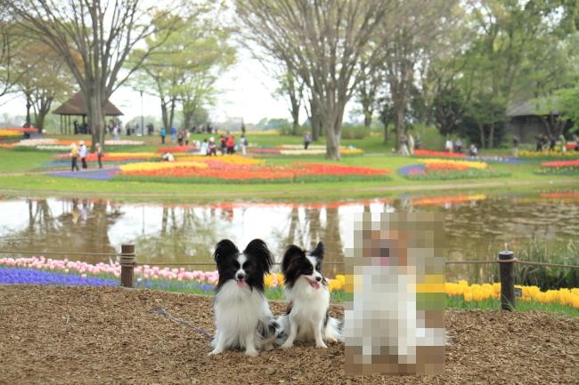 IMG_6758昭和記念公園 1チューリップ サブレ りっくん