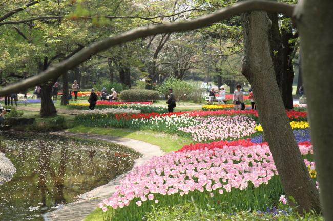 IMG_6820昭和記念公園 1チューリップ サブレ