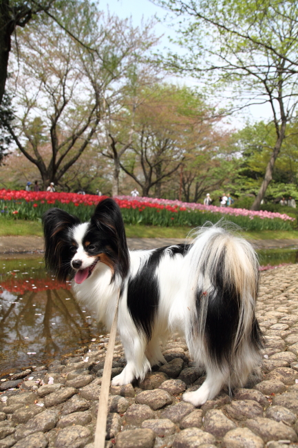 IMG_6846昭和記念公園 1チューリップ サブレ