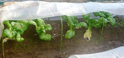 01収穫前のカツオ菜