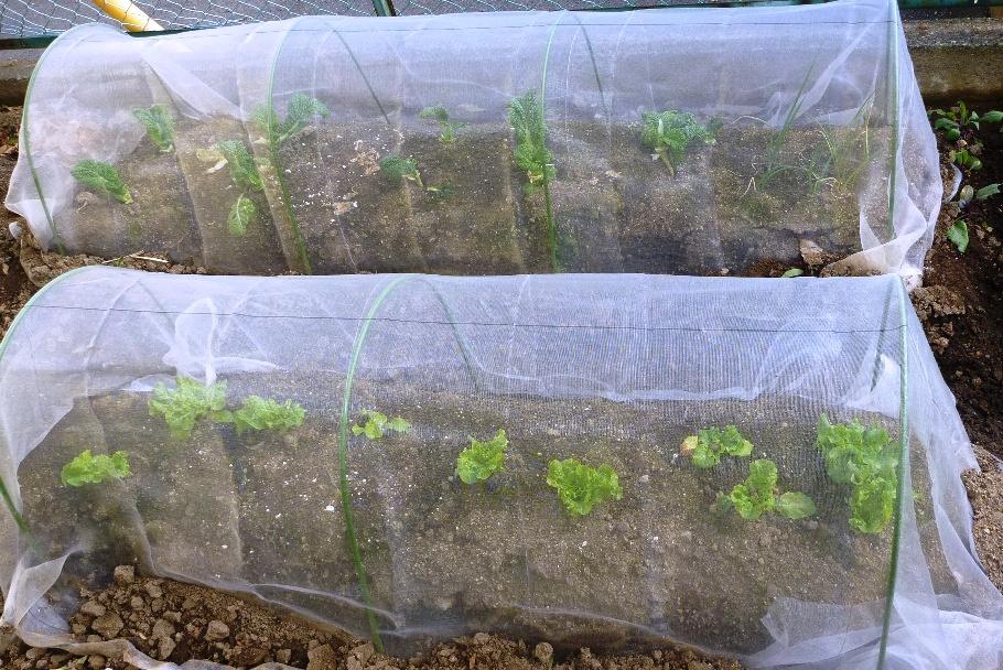 採取後のレタスとタツオ菜