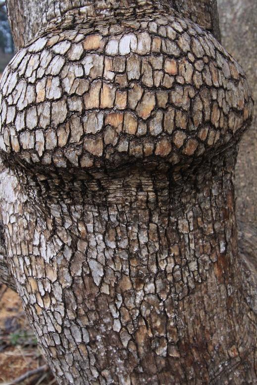 木の瘤(柿)