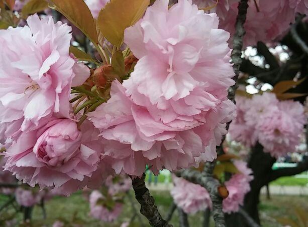 造幣局・桜の通り抜け⑤