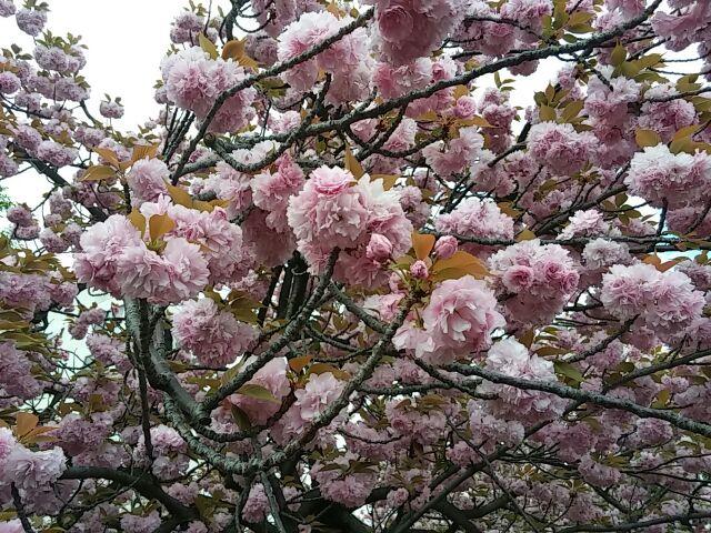 造幣局・桜の通り抜け⑦