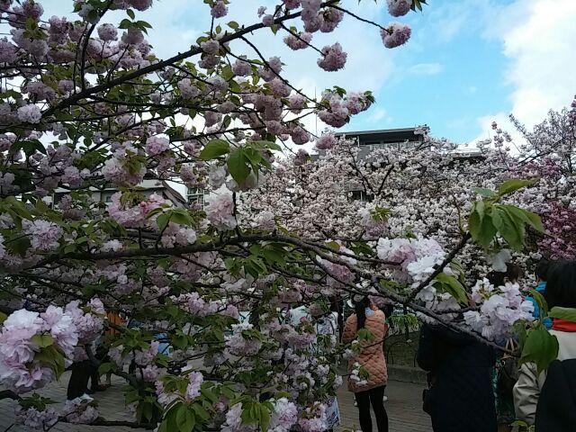 造幣局・桜の通り抜け⑧