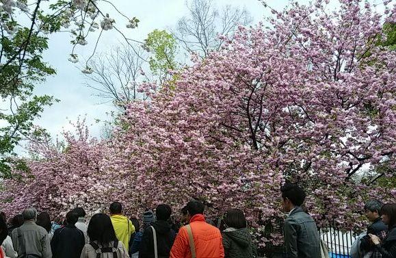 造幣局・桜の通り抜け⑩