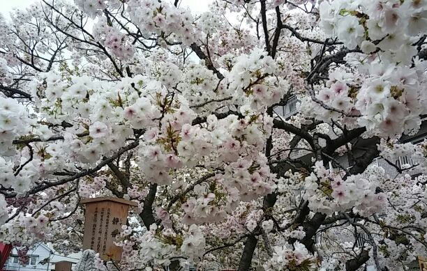 造幣局・桜の通り抜け⑫
