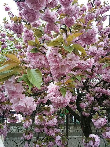 造幣局・桜の通り抜け⑬