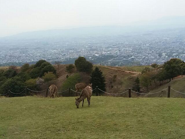 奈良若草山3重目に生息する鹿②