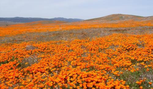 ポピー②・広大な大地が春になると一面オレンジ色のポピーに覆われる