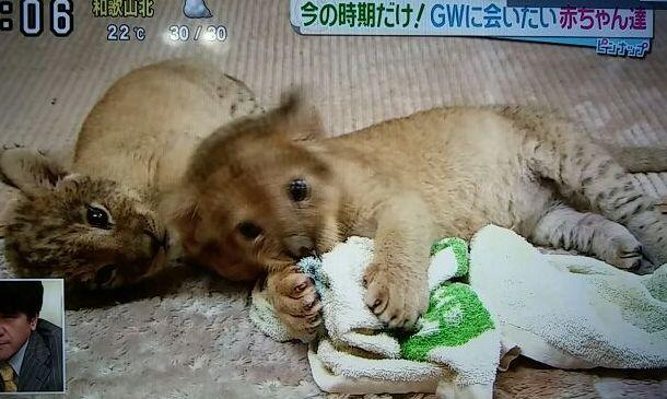 ライオンの双子の赤ちゃん・2015年4月29日