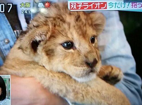 ライオンの赤ちゃん・2015年4月29日