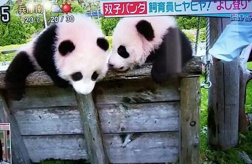 双子パンダの赤ちゃん・2015年4月29日