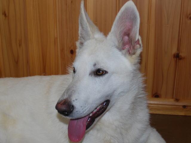 ホワイトシェパード若犬2