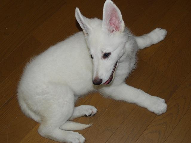 セラピー産まれのホワイトシェパードの子犬3‐1