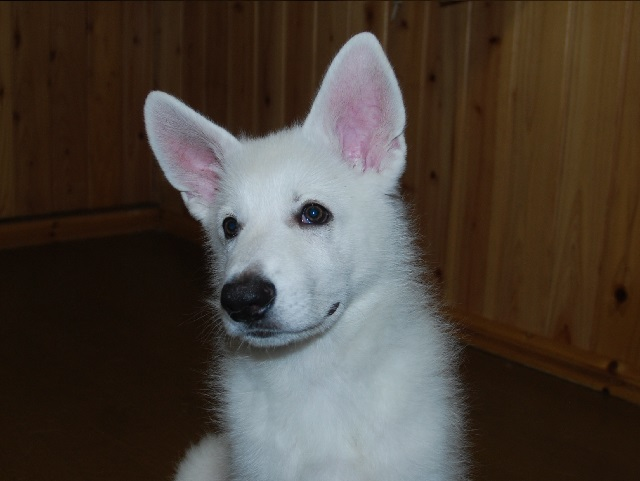 セラピー産まれのホワイトシェパードの子犬1‐2