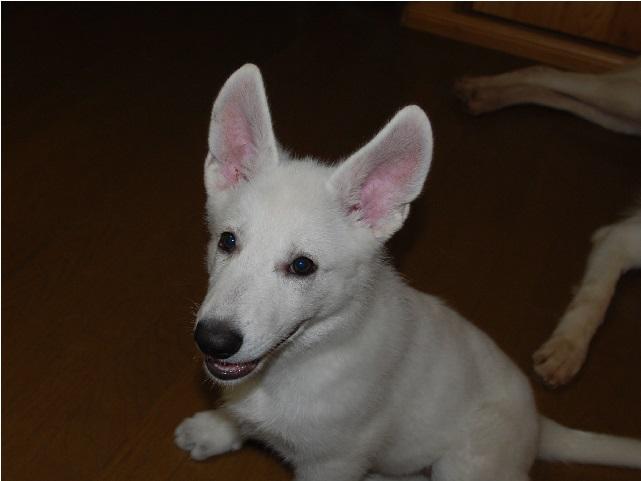 セラピー産まれのホワイトシェパードの子犬2‐2
