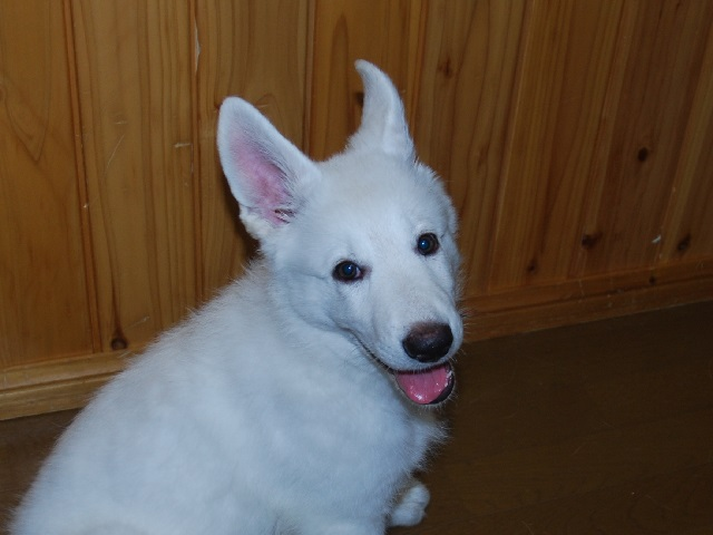セラピー産まれのホワイトシェパードの子犬3‐2