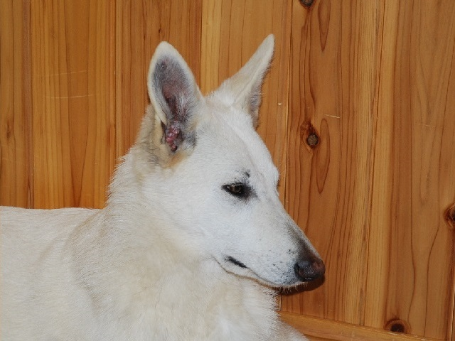 福岡のホワイトシェパードの若犬