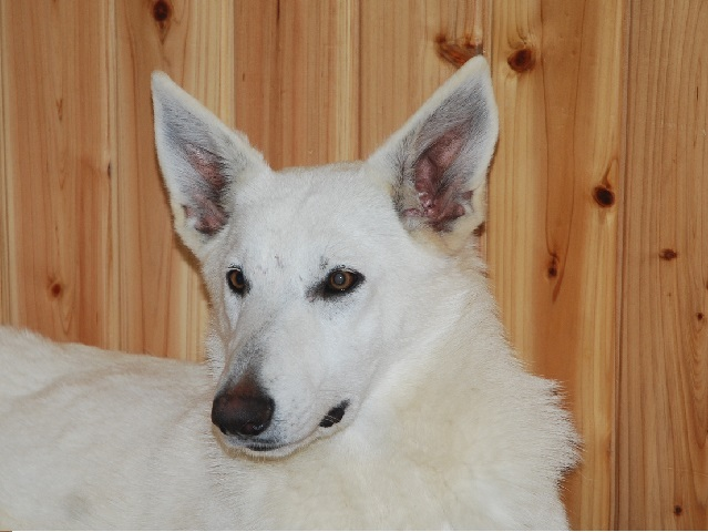 福岡のホワイトシェパードの若犬3