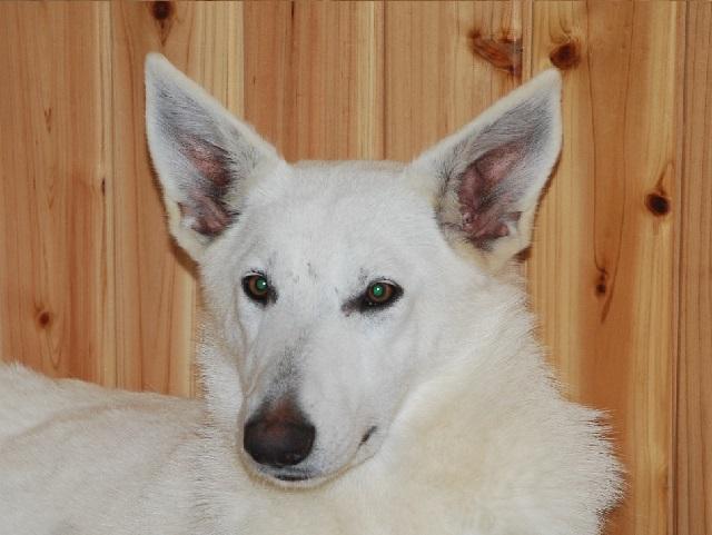 福岡のホワイトシェパードの若犬2