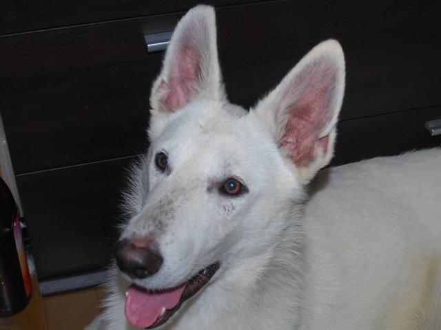 ホワイトシェパード若犬4