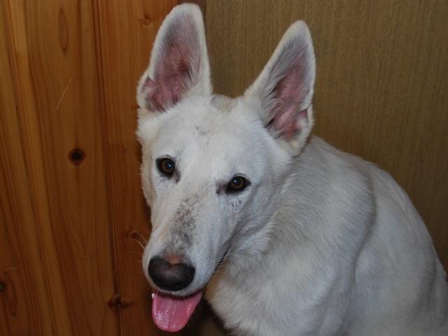 ホワイトシェパード若犬6
