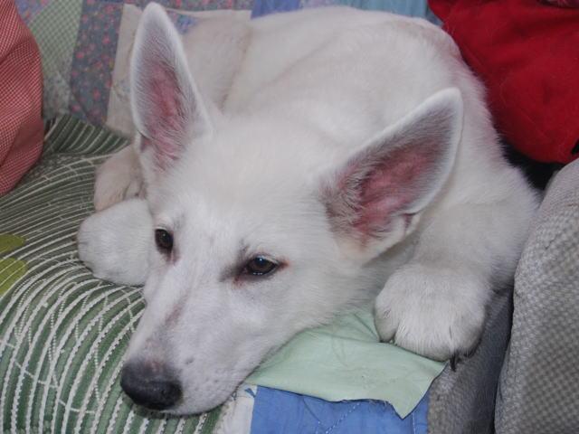 ホワイトシェパードの子犬3