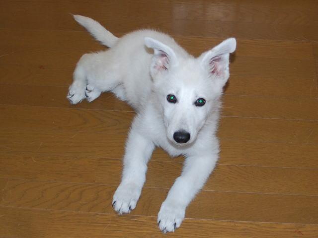 ホワイトシェパードの子犬1‐1