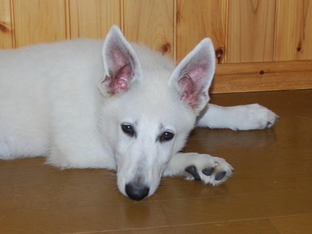 綺麗な顔立ちのホワイトシェパードの子犬3