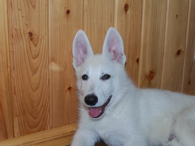 ホワイトシェパードの子犬2‐1