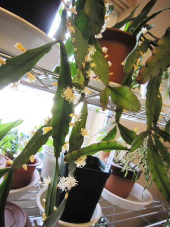 緑羽葦 (エルリプティカ )